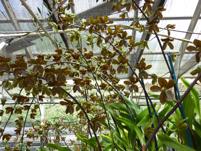 Brown cymbidium orchid at an Oahu orchid farm by destination wedding planner, Mango Muse Events