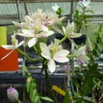 White pink orchid at an Oahu orchid farm by destination wedding planner, Mango Muse Events