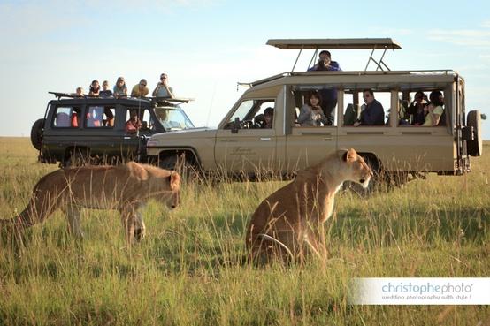 Lions on Safari in Kenya for a Kenya destination wedding shared by Destination wedding planner, Mango Muse Events