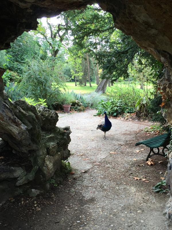 Peacock at the Bois de Boulogne Park in Paris