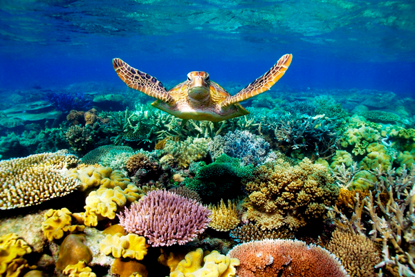 Turtle in the Great Barrier Reef in Australia, one of eight Zika-free destinations shared by Destination wedding planner, Mango Muse Events