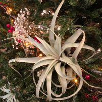 Airplant holiday decor idea for a Christmas tree by Mango Muse Events, destination wedding planner
