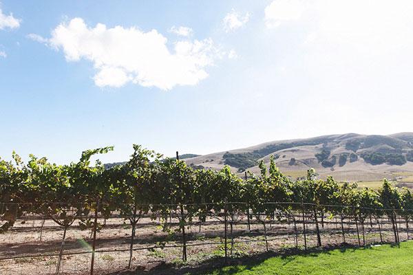 Grape vines in Sonoma valley, California