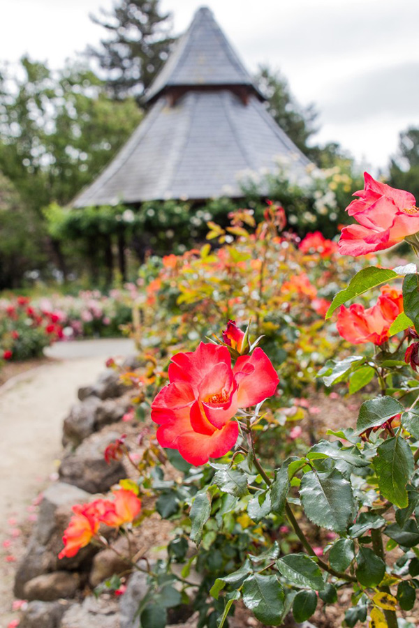 Roses at The Gardens at Heather Farms in Walnut Creek outdoor wedding venue for small weddings by Bay Area wedding planner Mango Muse Events and Let's I Do this small wedding packages for intimate micro weddings